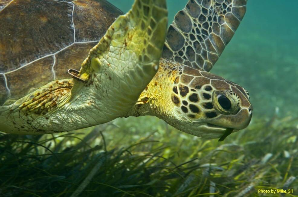 Sea turtle eating Thalassia